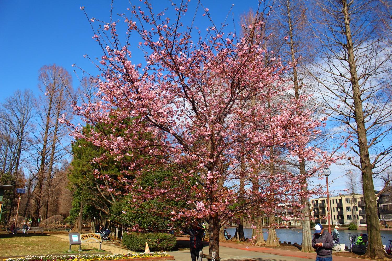 咲き始め:別所沼公園の河津桜