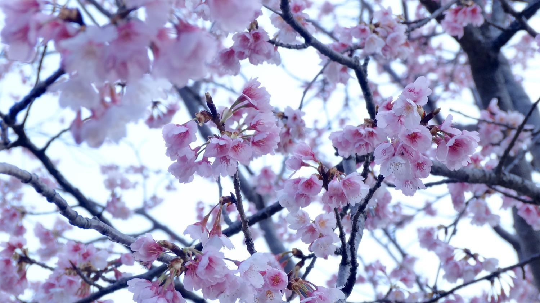 満開〜咲き終わり:武蔵浦和駅西口交差点の桜の開花状況