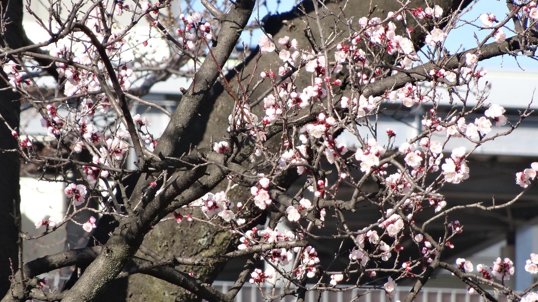 咲き始め:武蔵浦和ロッテ工場内の小さな桜