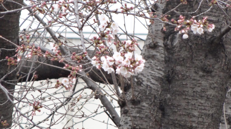咲き始め:武蔵浦和駅東口ロータリーの桜の開花状況