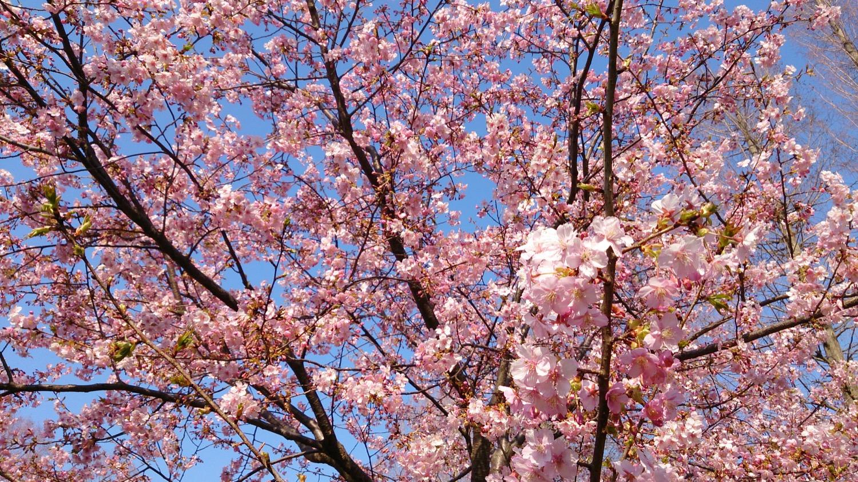 別所沼公園の河津桜