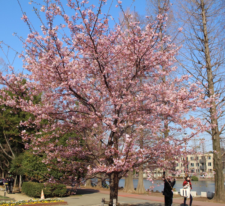4分咲き:別所沼公園の河津桜