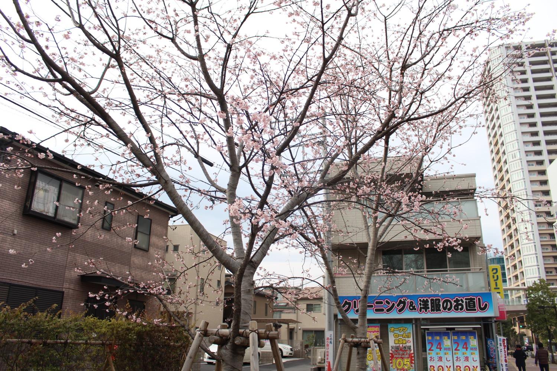 4分咲き:武蔵浦和駅西口交差点の桜の開花状況