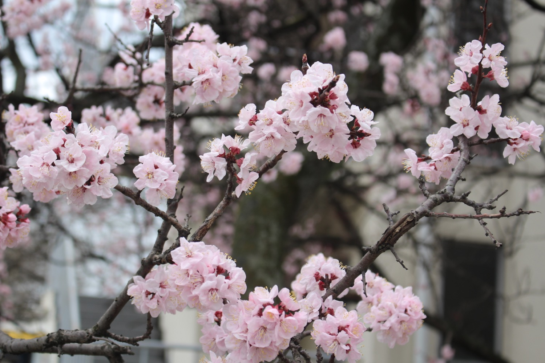 8分咲き:武蔵浦和ロッテ社宅の桜の開花状況
