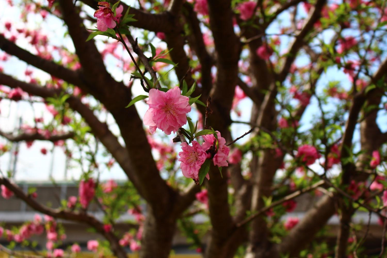 笹目川の桃の花
