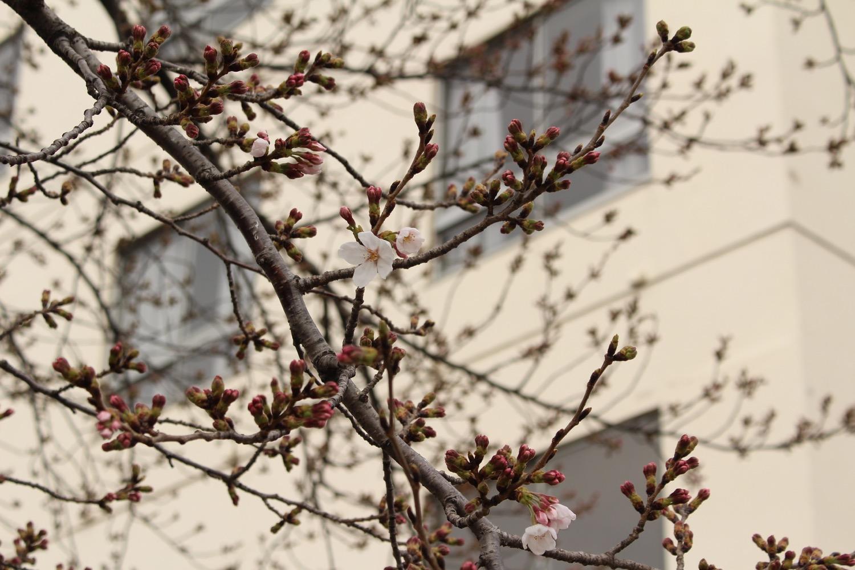 咲き始め:武蔵浦和ロッテ寮の桜の開花状況