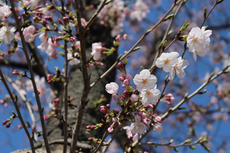 4分咲き:武蔵浦和ロッテ寮の桜の開花状況