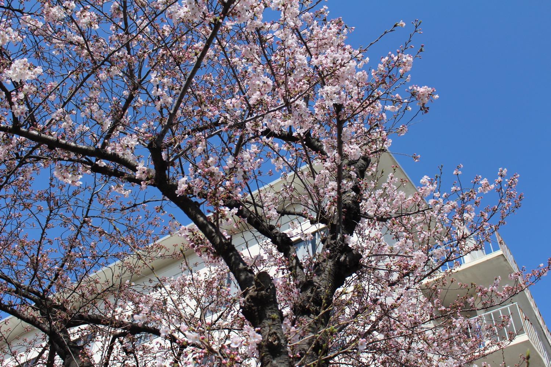 武蔵浦和ロッテ寮の桜