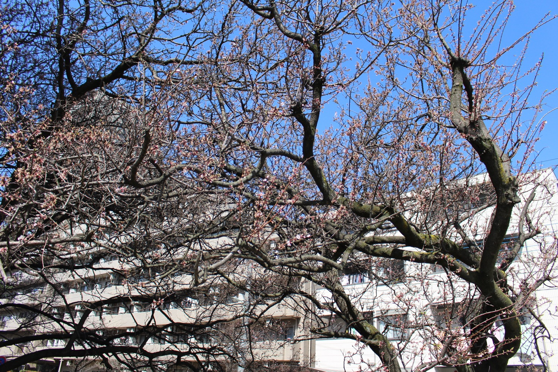 武蔵浦和ロッテ社宅の桜