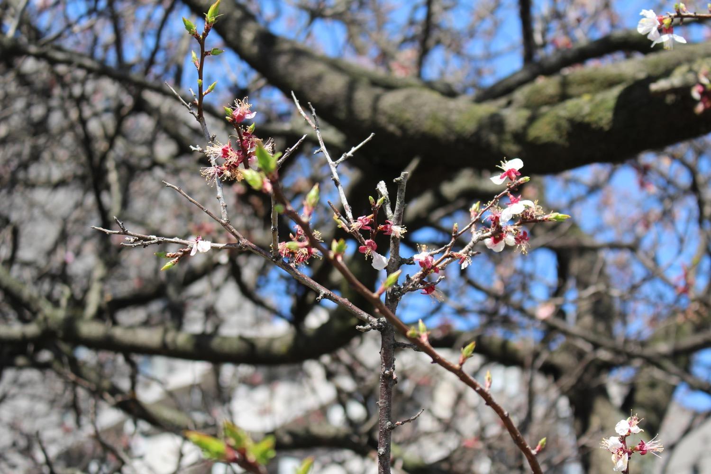 咲き終わり:武蔵浦和ロッテ社宅の桜の開花状況
