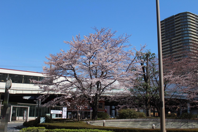 武蔵浦和駅東口ロータリーの桜