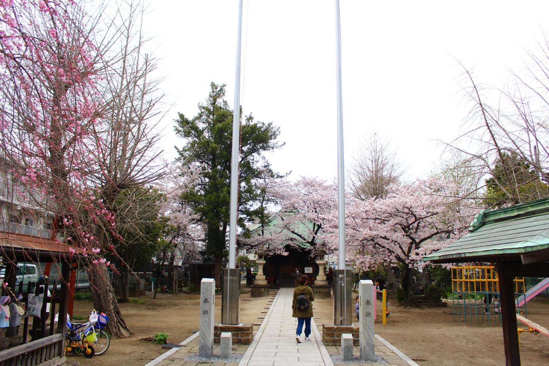 満開:沼影観音堂の桜