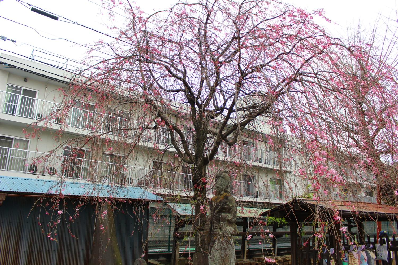 沼影観音堂のしだれ桜