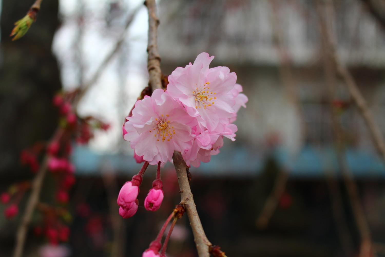 4分咲き:沼影観音堂のしだれ桜