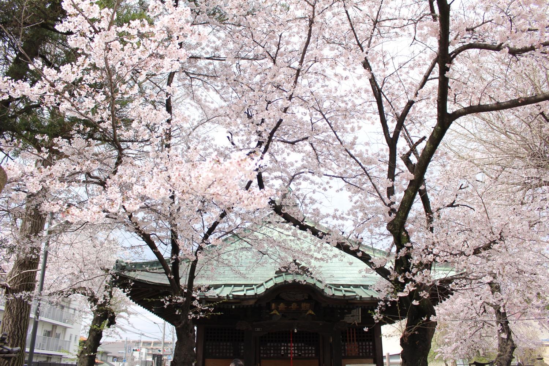 沼影観音堂の桜(本堂)