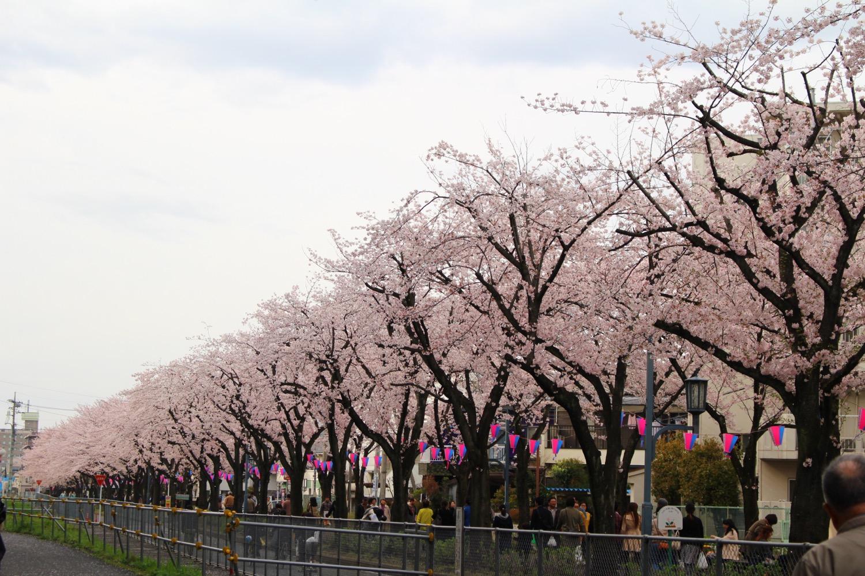 満開:武蔵浦和駅東口遊歩道の桜の開花状況