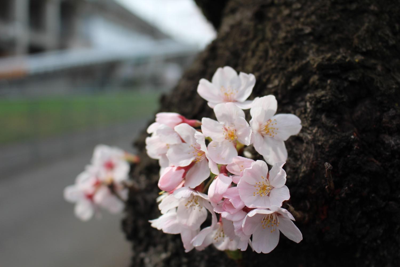 武蔵浦和駅東口遊歩道の桜