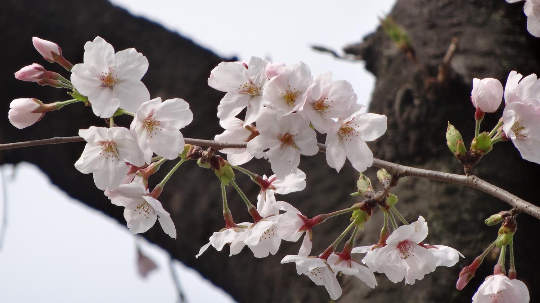 武蔵浦和ロッテ工場の桜