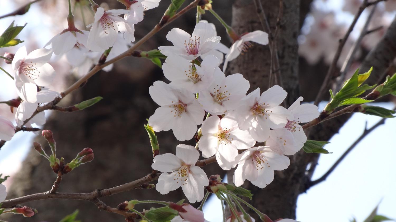 武蔵浦和ロッテ球場隣の桜