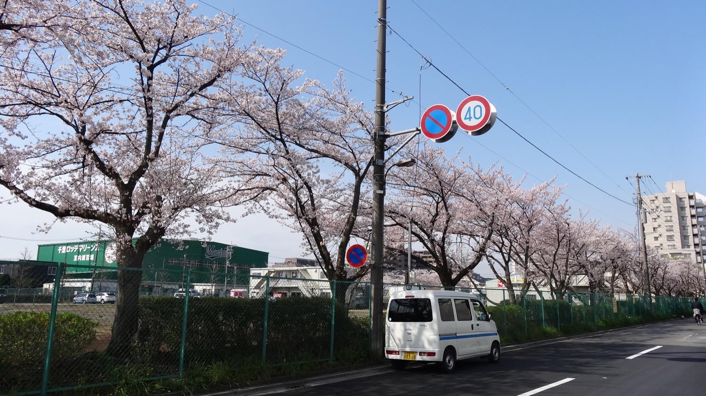 満開:武蔵浦和ロッテ球場隣の桜