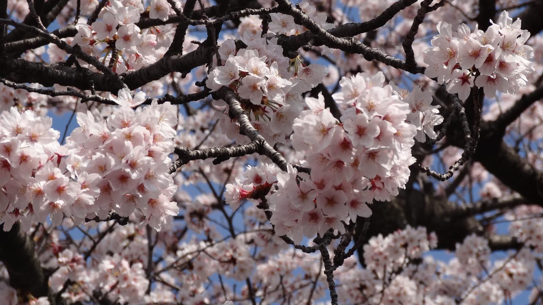 三井住友銀行武蔵浦和支店の桜