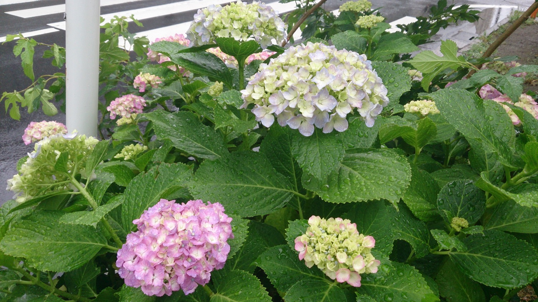 雨と紫陽花(花と緑の散歩道)