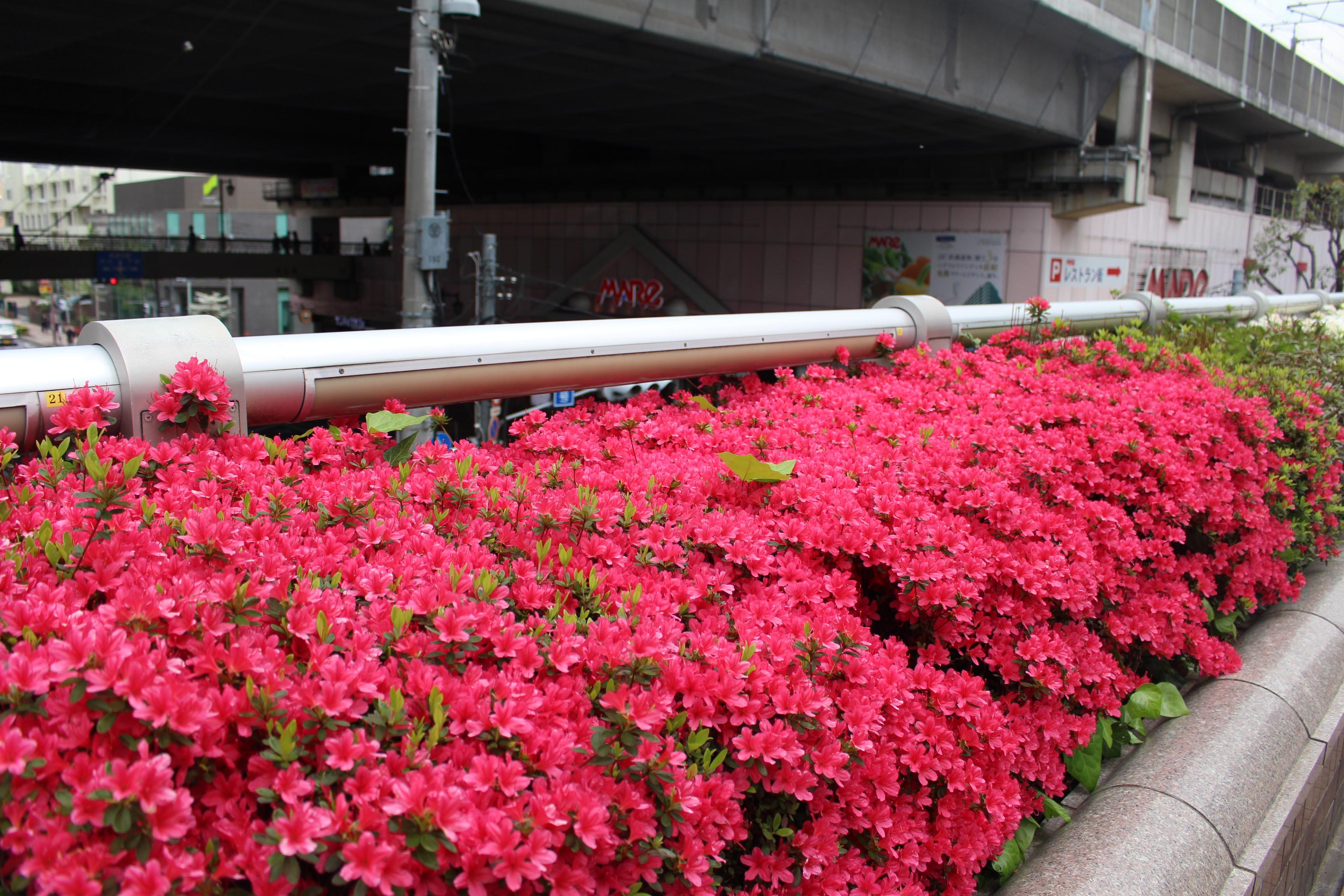 武蔵浦和駅2階デッキのさつき