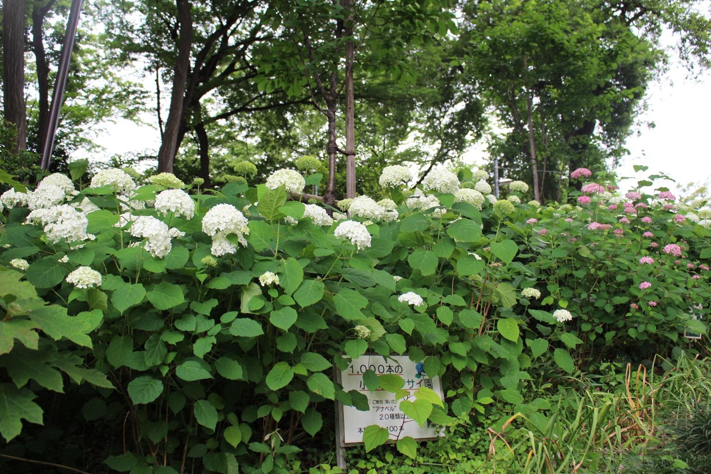 大谷場氷川神社の紫陽花