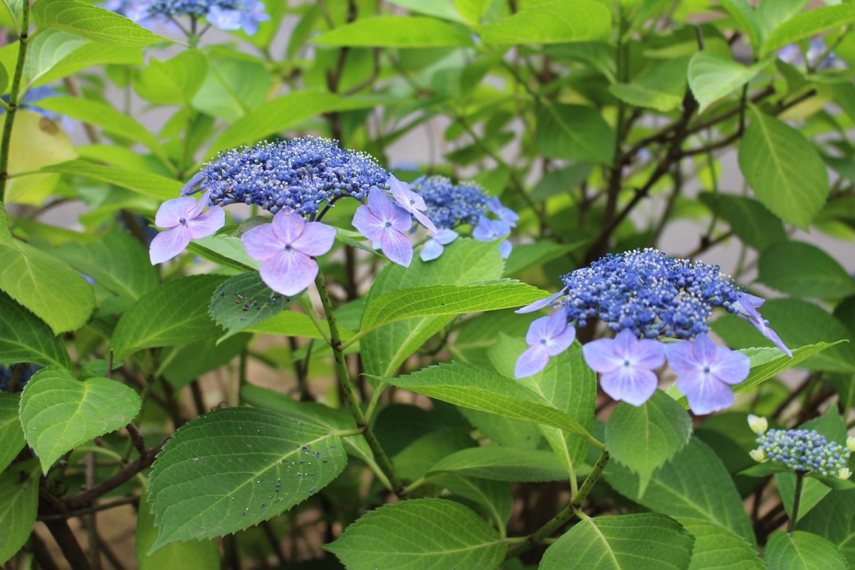 花と緑の散歩道の紫陽花