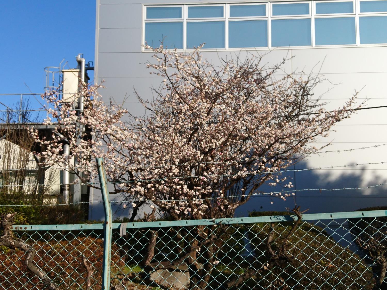 ロッテ工場裏手にある梅の花