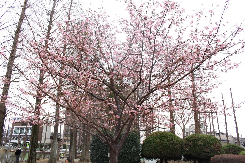 咲き始め:別所沼公園の河津桜(2017)