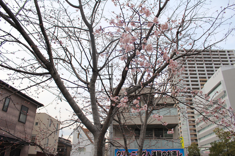 咲き始め:武蔵浦和駅西口交差点の桜の開花状況(2017)