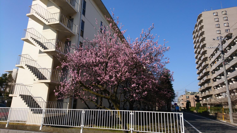 8分咲き:武蔵浦和ロッテ社宅の桜の開花状況(2017)
