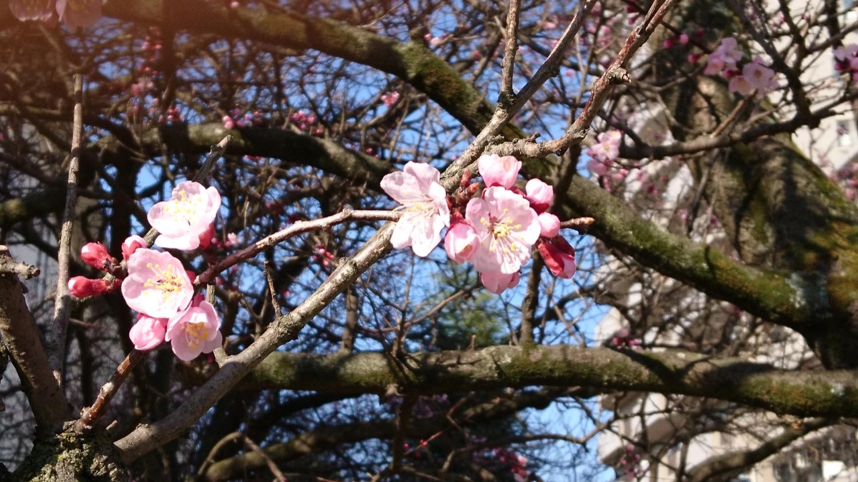 武蔵浦和ロッテ社宅の桜の開花状況