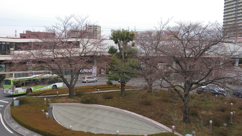 咲き始め:武蔵浦和駅東口ロータリーの桜の開花状況(2017)
