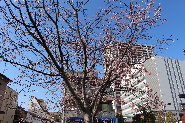 4分咲き:武蔵浦和駅西口交差点の桜の開花状況(2017)