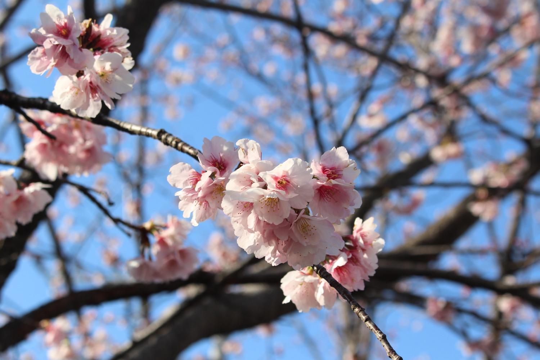 武蔵浦和駅西口交差点の桜の開花状況