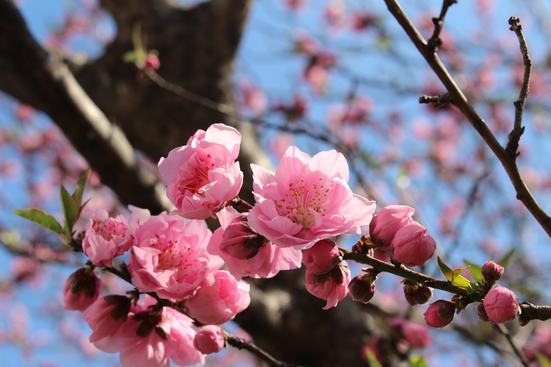 笹目川沿いの桃の花
