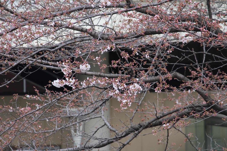 武蔵浦和駅東口ロータリーの桜の開花状況