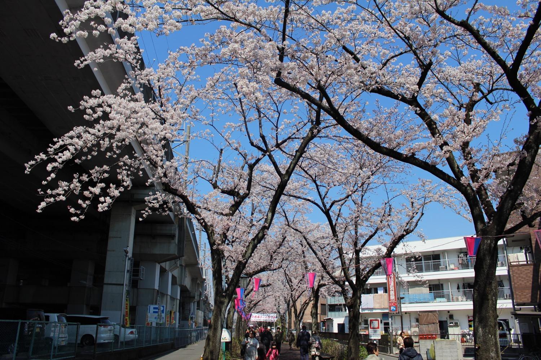 満開:武蔵浦和駅東口遊歩道の桜の開花状況(2017)