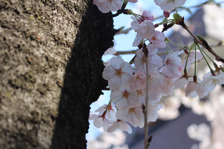 武蔵浦和駅東口遊歩道の桜の開花状況