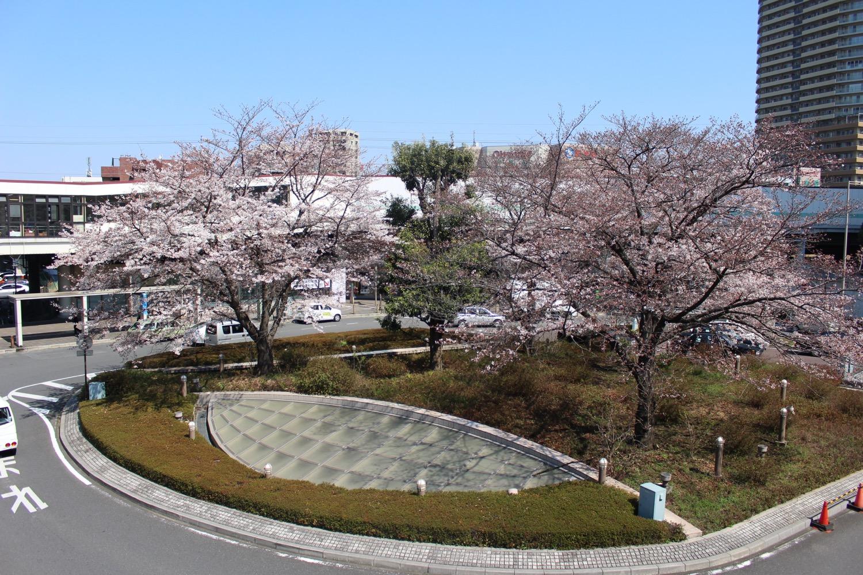 7分咲き:武蔵浦和駅東口ロータリーの桜の開花状況(2017)