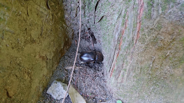 別所沼公園のカブトムシ